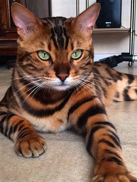 bengal katze katen katzen schoenen katzen und tiere