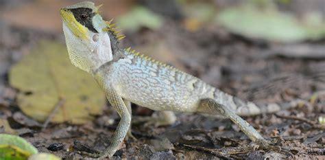 กิ้งก่าเขาหนามสั้น (Masked spiny lizard)