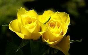 Yellow Rose Wallpapers - 3D HD Wallpapers