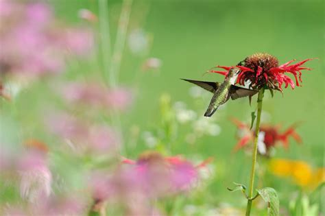 plants that hummingbirds how to attract hummingbirds to your garden plants shrubs and feeders