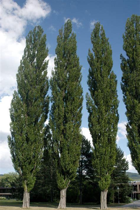 populus nigra italica van den berk nurseries