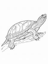 Turtle Painted Pages Turtles Western Coloring Printable Terrapin Box Eastern Crafts Colouring Supercoloring Print Schildpadden Category Water Painting Animals Drawing sketch template