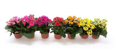 piante da appartamento con fiori piante da appartamento grasse verdi con fiori come