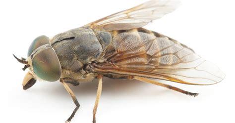 bremsen blinde fliegen zecken und insekten