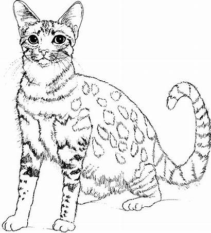 Cat Coloring Animals Pages Animal