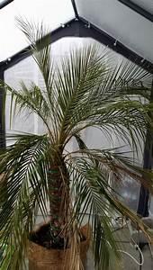 Palme Umtopfen Wurzeln Abschneiden : ph nix palme problem seite 1 frostsch den krankheiten sch dlinge ~ Frokenaadalensverden.com Haus und Dekorationen