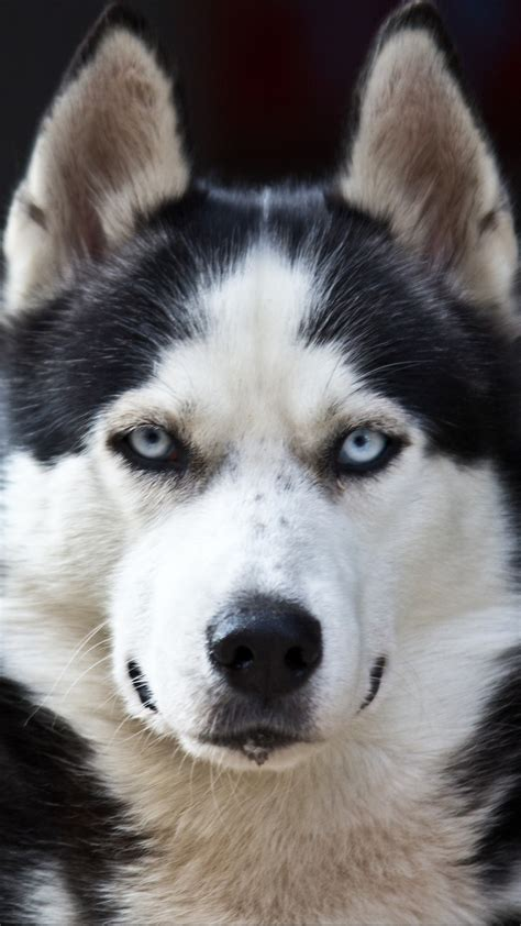 siberian husky wallpaper iphone best hd wallpaper