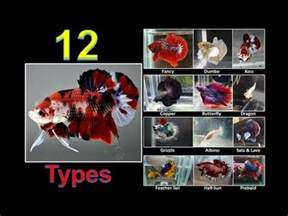 types  betta fish names colors  tails part