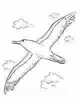 Albatross Coloring Pages Birds Template Printable Recommended Flying Coloringbay Ray sketch template