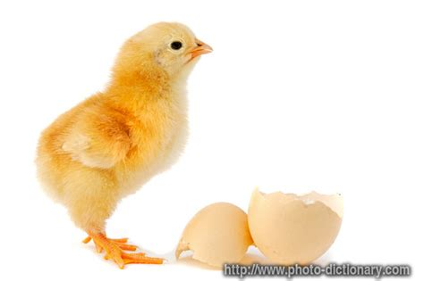 chicken photopicture definition  photo dictionary