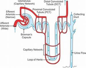 Explain The Sturucture Of Nephron With Diagram