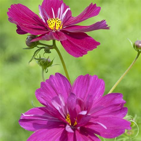 Cosmos Fizzy Purple Flower Seeds From Mr Fothergills Seeds