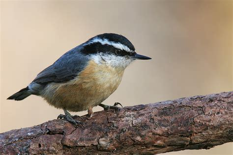 file red breasted nuthatch jpg wikimedia commons