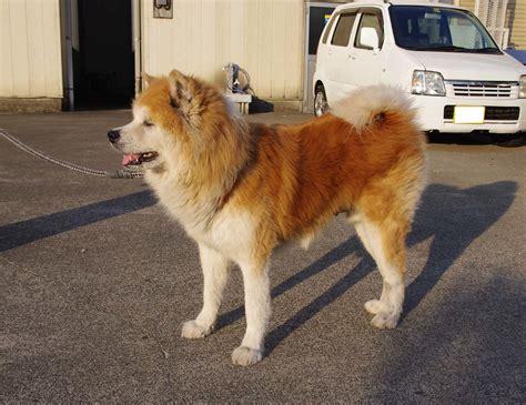 giant japanese dog akita inu    gon