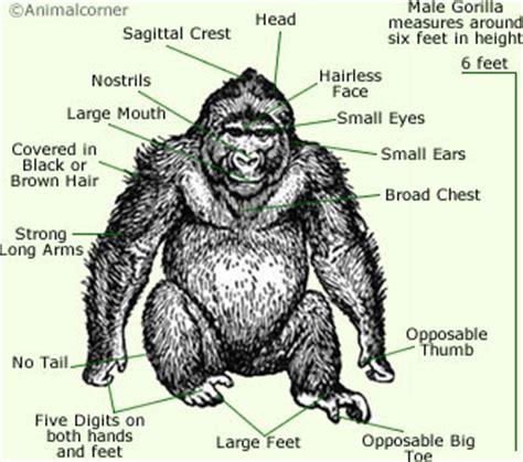 gorillas anatomy anatomy of a gorilla