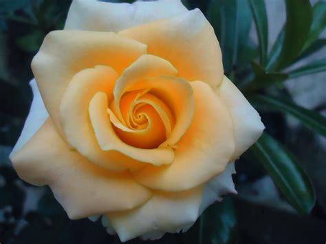 wallpaper bunga mawar orange putih rumah daun muda