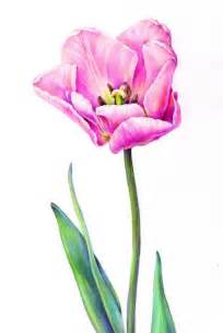 Colored Pencil Drawing Tulip
