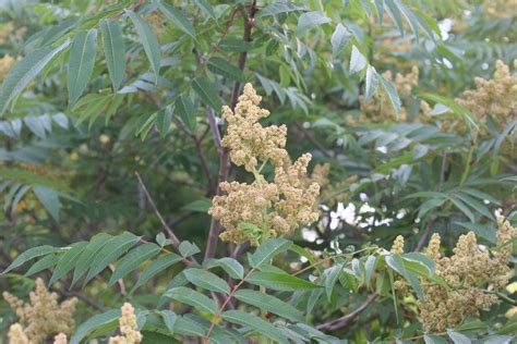 sumac plant staghorn sumac rhus typhina 183 msu plant and pest diagnostic services