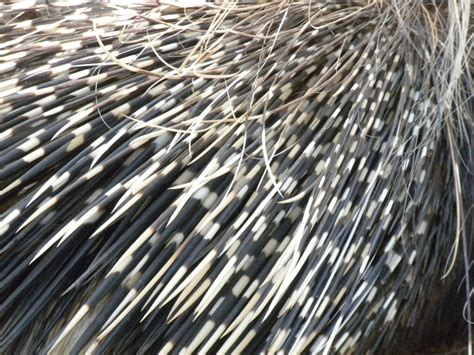 porcupine quills crested porcupine quills by photosammich on deviantart