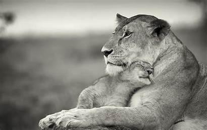 Lion Quotes Mother Quotesgram