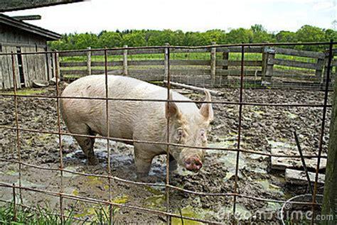 pig  sty stock photography image