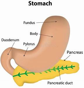 Stomach And Pancreas Labeled Diagram Stock Vector