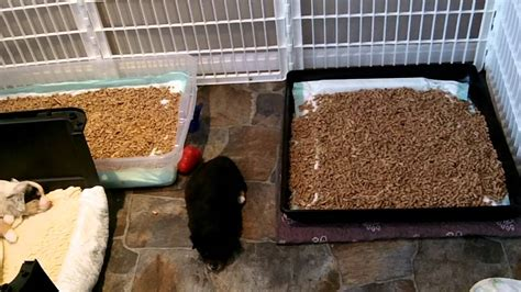 Whelping Box Bedding by New Puppy Litter Box Training Part 4 Doovi