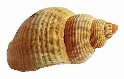 Shell Transparent Sea Seashell Background Ocean Pngpix