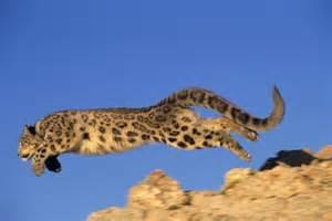 Running Snow Leopard Jumping