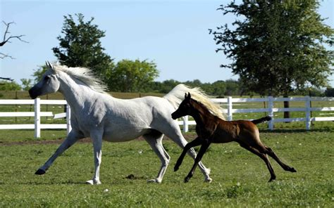 white horse running  brown foal