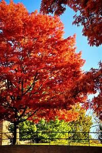 scarlet oak tree for sale the tree center