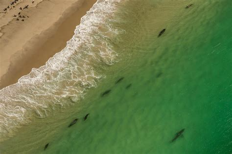 Great White Sharks On The Rise In This Vacation Town