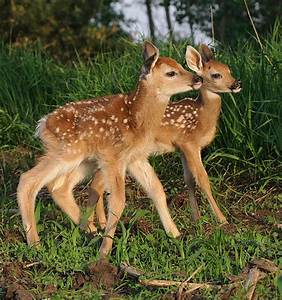 baby white tail deer | Flickr - Photo Sharing!