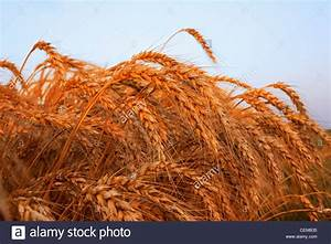 Closeup Of Mature Harvest Stage Soft Red Winter Wheat In