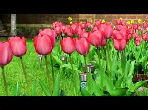 when do u plant tulips how to grow tulips planting tulips home garden youtube