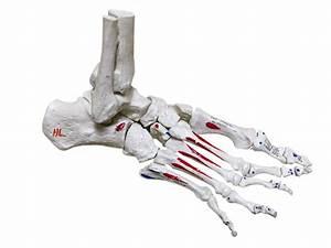Bones Of The Foot Diagram