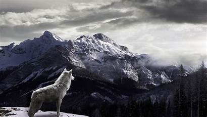 Wild Wolf Mountain Wallpapers Backgrounds Nature 1080