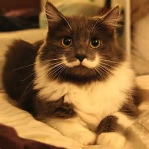 hamilton the cat hamilton the cat has moustache like salvador dali