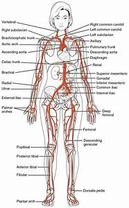 All The Major Arteries Of The Human Body