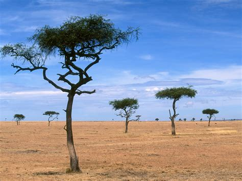 World Africa Scattered Acacia Trees Kenya Africa