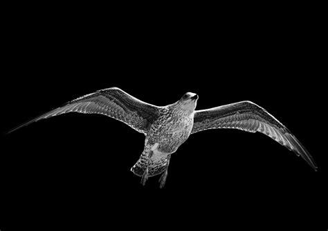 Mammifero Volante Immagini Natura Uccello Ala Bianco E Nero