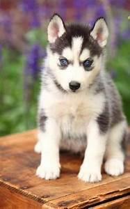 Husky Zu Verkaufen : suche siberian husky zu verschenken verkaufen 850728 ~ Orissabook.com Haus und Dekorationen
