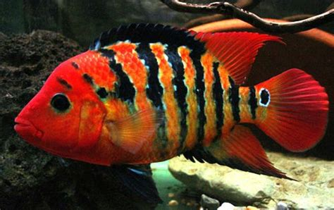 most colorful cichlids terror cichlid fish bowl magic fish