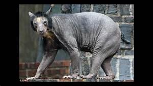 HAIRLESS BEAR IN RUSSIA - YouTube