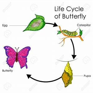 Butterfly Life Cycle Drawing At Getdrawings