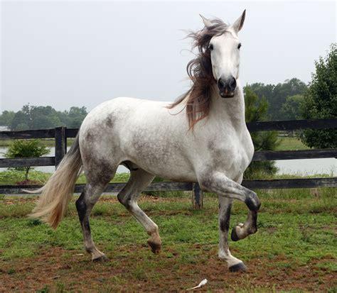 andalusian horses venomxbaby nico horse grey spanish stallion konie pre wallpapers deviantart prywatne animales forma hd alia imi