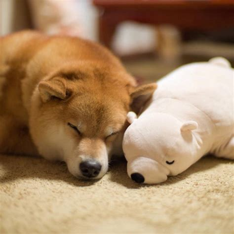 adorable shiba inu sleeping    position