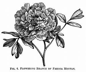Moutan Paeonia, peony clip art, botanical engraving, black ...