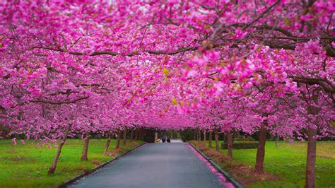 Wallpaper trees, 4k, 5k wallpaper, sakura, spring, Nature ...
