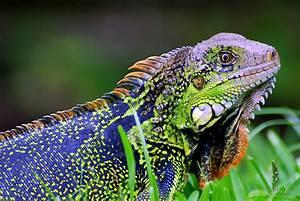 """""""Green Iguana (Iguana iguana) - Costa Rica"""" by Jason ..."""
